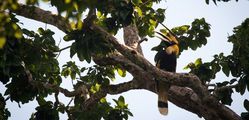 Elephant Hills - Great-Hornbill.jpg